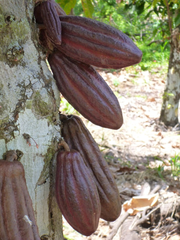 cacao tree with cacao pods