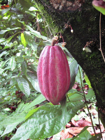 red trinitario cocoa pod on theobroma cacao tree with cacao flowers