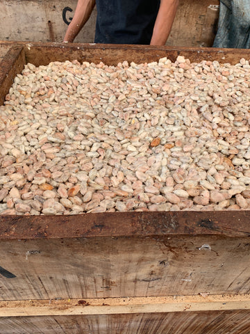 raw cacao beans in fermenting box
