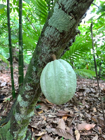 single round green cacao pod on tree
