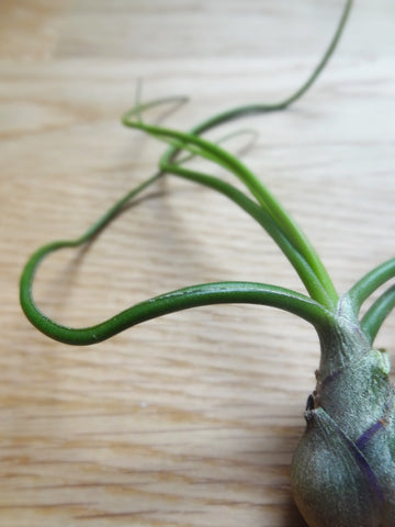 Tillandsia Bulbosa tropical air plant