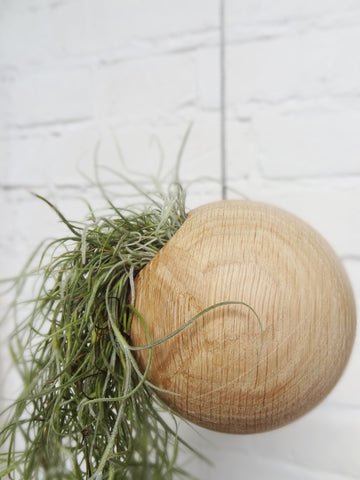 Hanging sphere air plant design pot with Tillandsia Usneoidus (Spanish Moss)