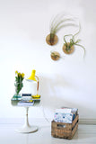 Indoor plant design idea with Tillandsia air plants and 3 discs in a living room