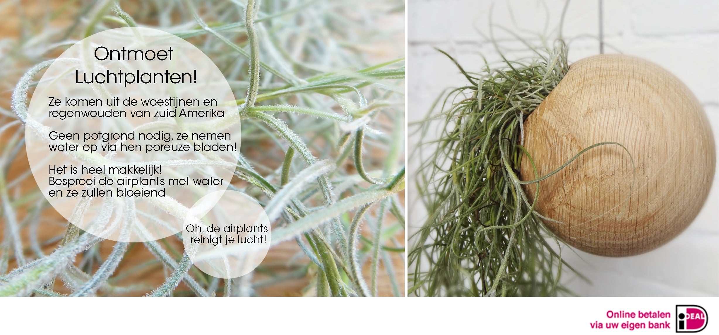 Etairnity air plant sphere pot with Tillandsia Usneoidus (Spanish Moss)
