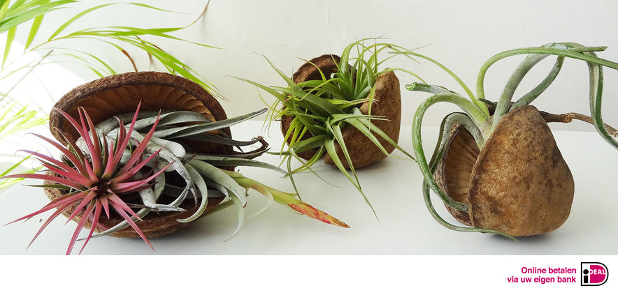 Etairnity tropical air plants indoor design idea