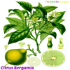 The many beneficial properties of Bergamot (or Citrus Bergamia) Oil