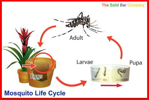 Aedes aegypti mosquito life cycle - The Solid bar Company