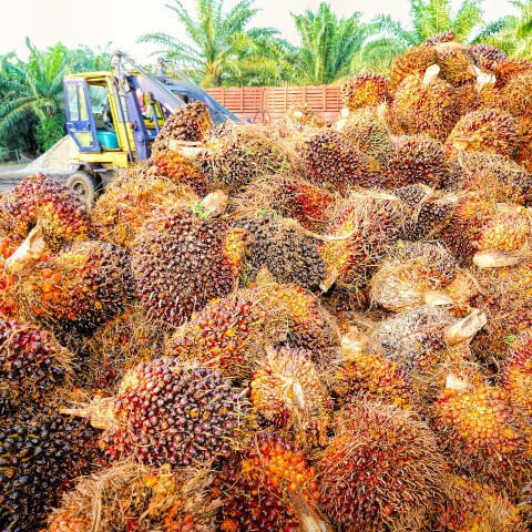 Palm Oil Fruit Harvesting