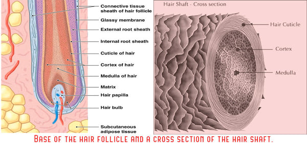 A hair follicle and cuticle diagram