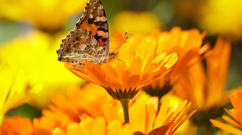 Calendula flower with butterfly