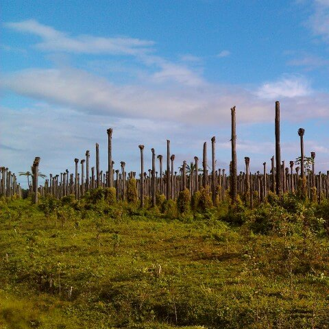 Dead Palm Oil Trees