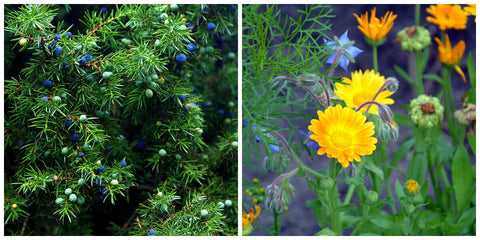 Juniper and Calendula flowers