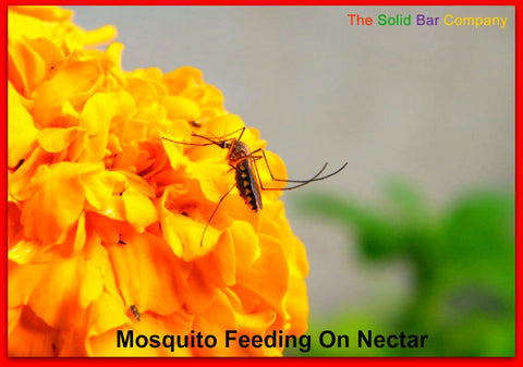 Mosquito Feeding On Nectar - The Solid Bar Company