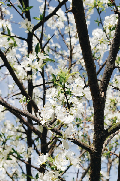 White Flowers Blooming on Wild Plum Tree