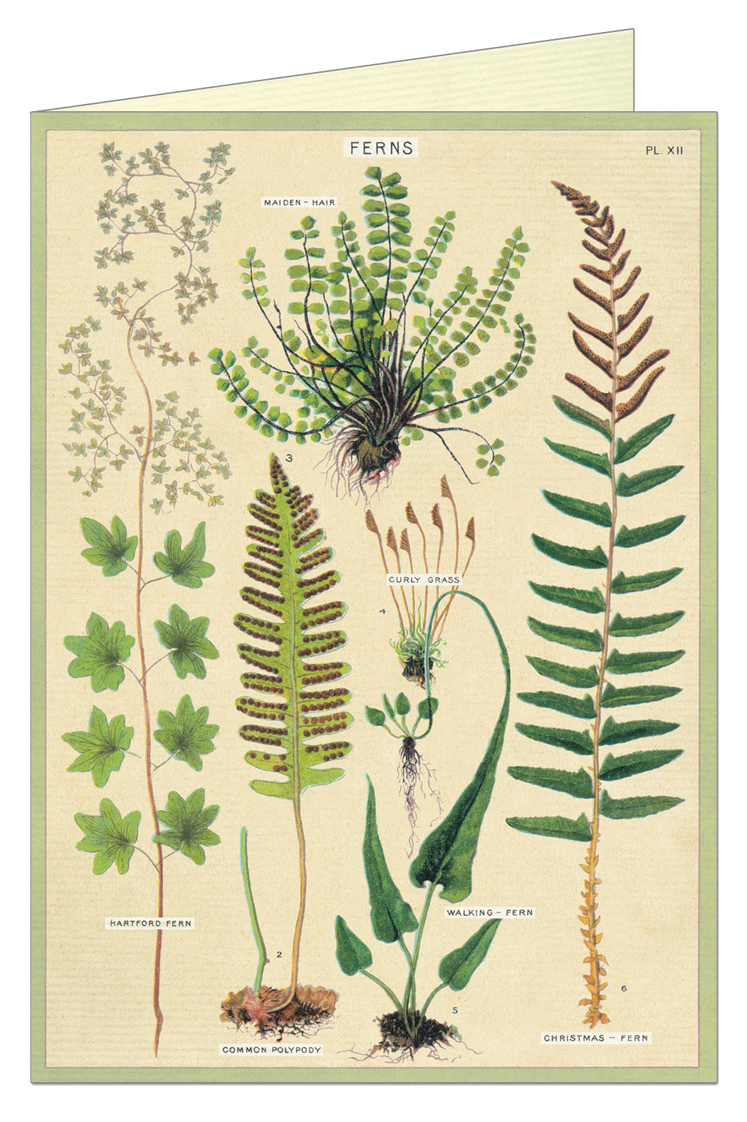 Cavallini Greeting Card - Ferns