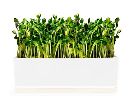 Grow Your Own - Mini Sprout Garden - Sunflower