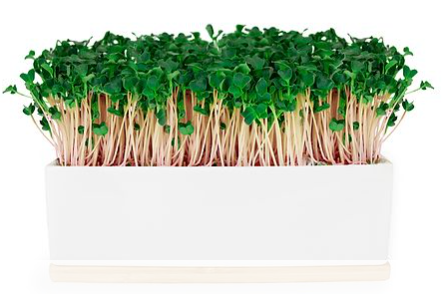 Grow Your Own - Mini Sprout Garden - Kale Pink
