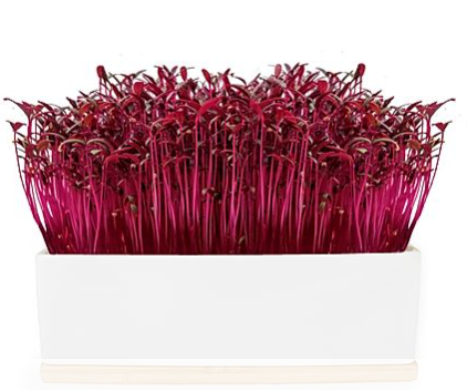 Grow Your Own - Mini Sprout Garden - Ruby (Amaranth)  Sprouts