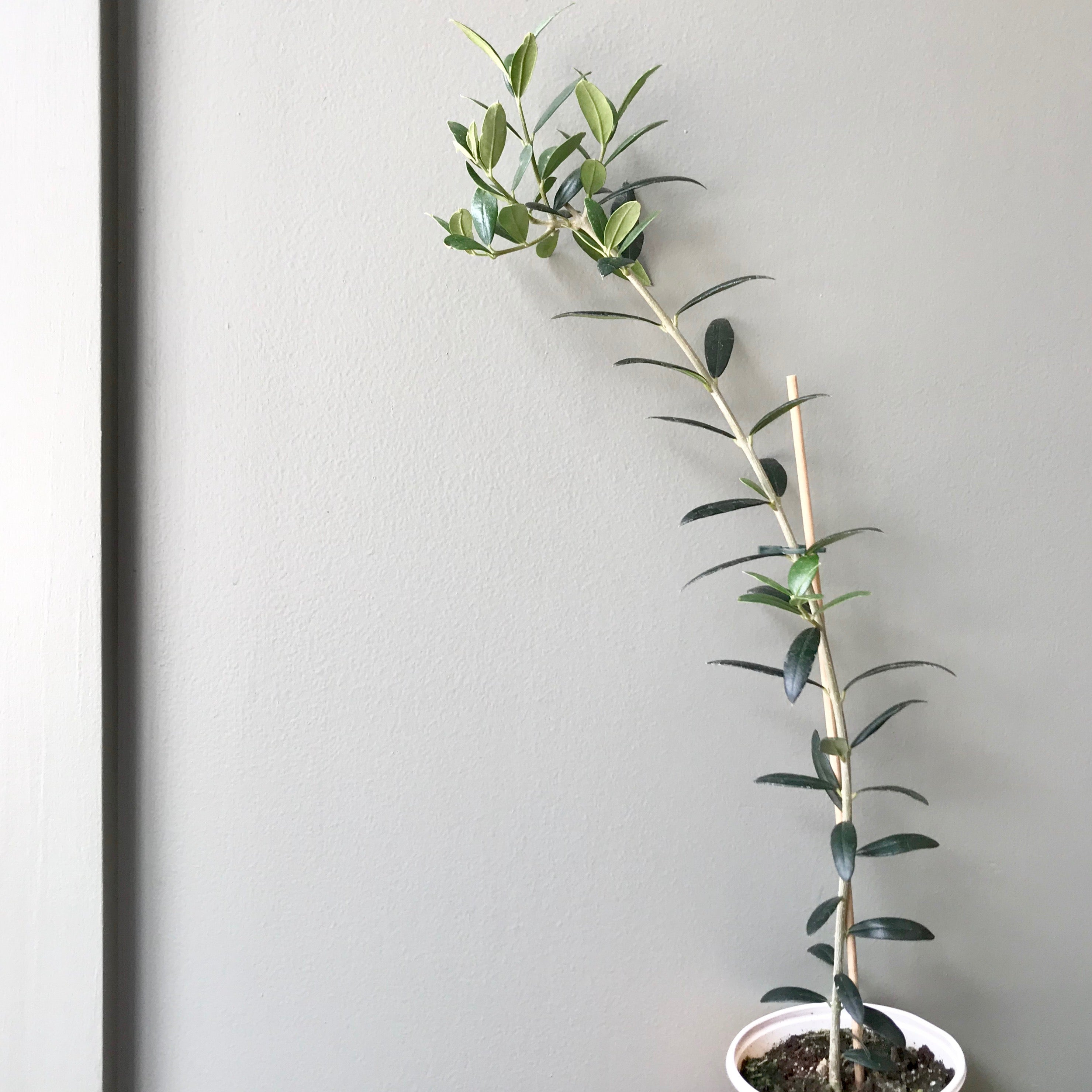 Olive Tree-small