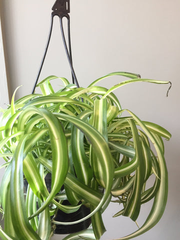 Hanging Spider Plant