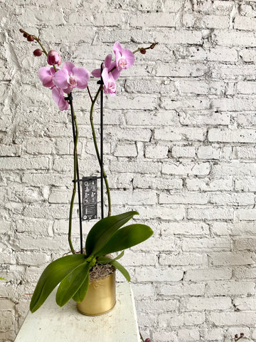 Pink Phalaenopsis Orchid in gold pot