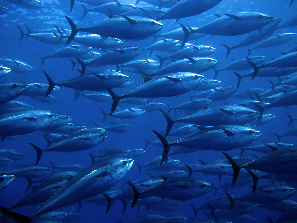An active and agile predator, the tuna has a sleek, streamlined body, and is among the fastest-swimming pelagic fish – the yellowfin tuna, for example, ...