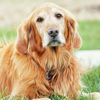 How to Best Care For Your Senior Dog