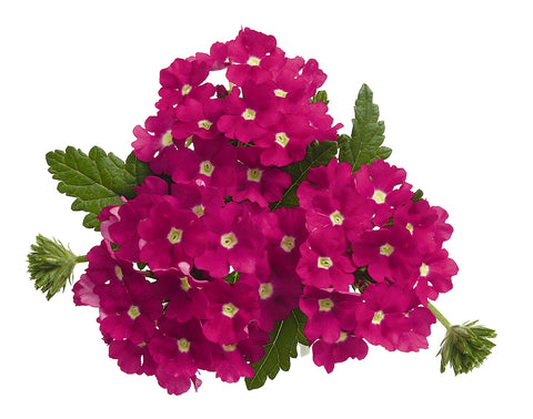 VERBENA EMPERESS HOT PINK - 4'' POT