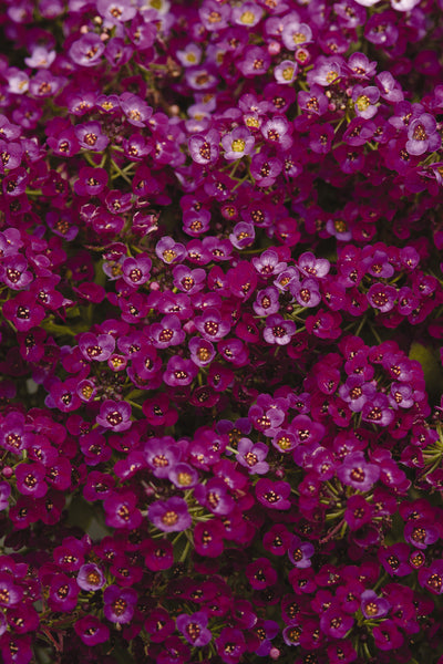 ALYSSUM CLEAR CRYSTAL PURPLE SHADES - 6 PACK