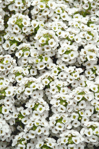 ALYSSUM CLEAR CRYSTAL WHITE - 6 PACK