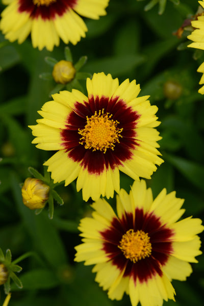 COREOPSIS UPTICK YELLOW AND RED - 1 GALLON