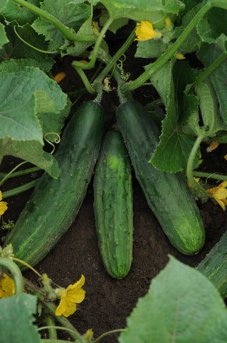 CUCUMBER PATIO PICKLE - FLAT OF 32 PLANTS