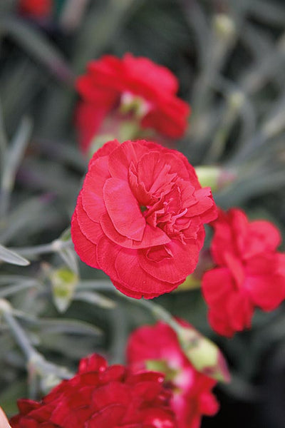 DIANTHUS SCENT FIRST PASSION - 1 GALLON