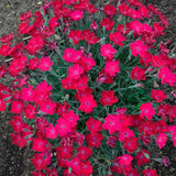 DIANTHUS PAINT THE TOWN MAGENTA - 1 GALLON