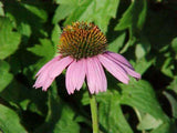 ECHINACEA MAGNUS PURPLE CONEFLOWER - 2 GALLON
