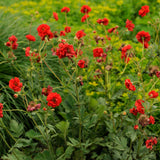 GEUM BLAZING SUNSET GEUM - 1 GALLON