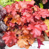 HEUCHERA RED SEA - 2 GALLON