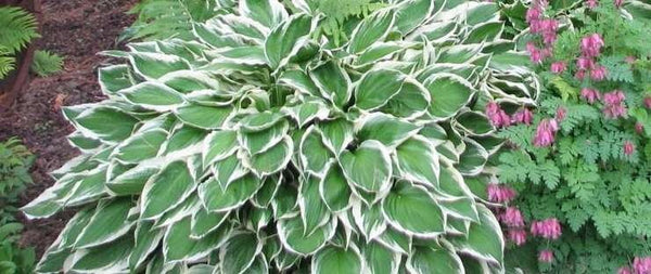 HOSTA ALBOMARGINATA WAVY HOSTA - 1 GALLON