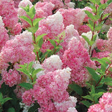 HYDRANGEA PANICULATA STRAWBERRY SUNDAE - 2 GALLON