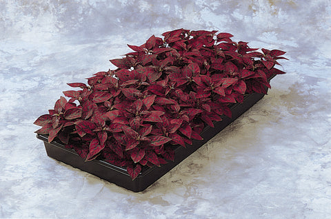 HYPOESTES SPLASH SELECT RED - FLAT OF 48 PLANTS