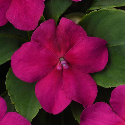 IMPATIENS BEACON ROSE - 4 PACK