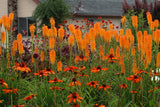KNIPHOFIA MANGO POPSICLE RED HOT POKER - 1 GALLON