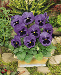 PANSY MATRIX OCEAN - FLAT OF 48 PLANTS