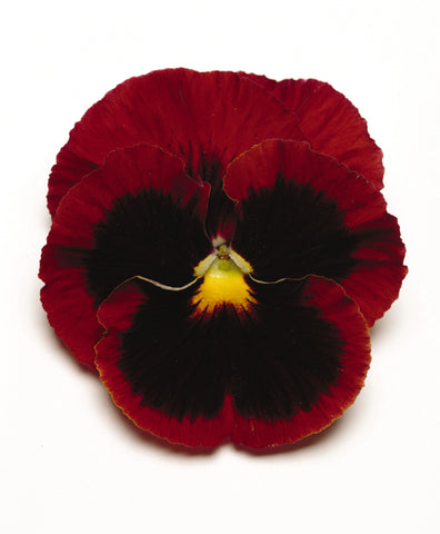 PANSY MATRIX RED WITH BLOTCH - JUMBO 6 PACK