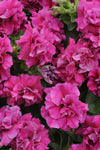 PETUNIA DOUBLE MADNESS ROSE - 6 PACK