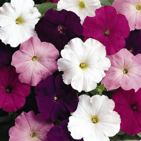 PETUNIA MADNESS WATERFALL MIX - FLAT OF 48 PLANTS