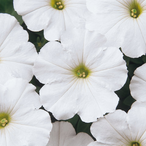 PETUNIA MADNESS WHITE - FLAT OF 48 PLANTS