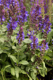 SALVIA NEMEROSA BLUE MARVEL - 1 GALLON