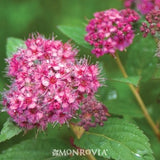 SPIRAEA JAPONICA DOUBLE PLAY ARTIST SPIRAEA - 3 GALLON
