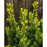 TAXUS X MEDIA HICKSII DENSIFORMIS YEW - 3 GALLON